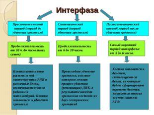 Интерфаза Пресинтетический период (период до удвоения хромосом) Синтетический