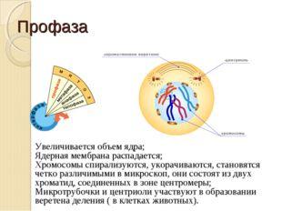 Профаза Увеличивается объем ядра; Ядерная мембрана распадается; Хромосомы спи