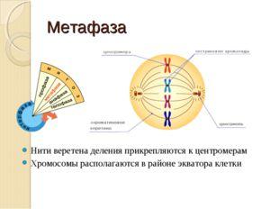 Метафаза Нити веретена деления прикрепляются к центромерам Хромосомы располаг