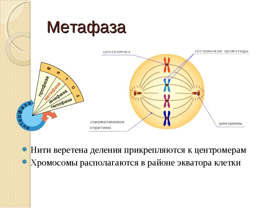 Метафаза Нити веретена деления прикрепляются к центромерам Хромосомы располаг...