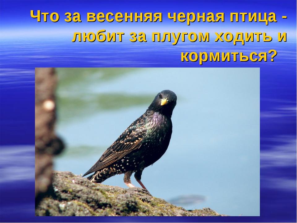 Что за весенняя черная птица - любит за плугом ходить и кормиться?