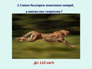 2.Самое быстрое животное гепард, а какова его скорость?  ? До 110 км/ч