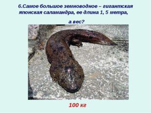 6.Самое большое земноводное – гигантская японская саламандра, ее длина 1, 5 м