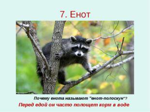 """7. Енот Почему енота называют """"енот-полоскун""""? Перед едой он часто полощет ко"""