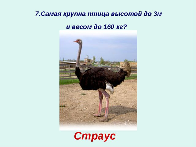 7.Самая крупна птица высотой до 3м и весом до 160 кг? Страус ?