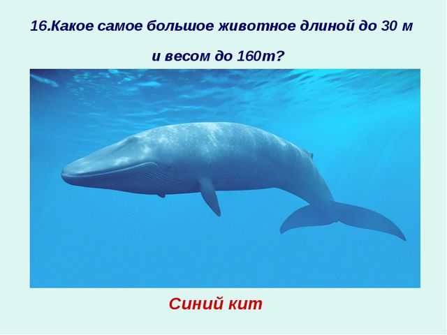 16.Какое самое большое животное длиной до 30 м и весом до 160т? ? Синий кит