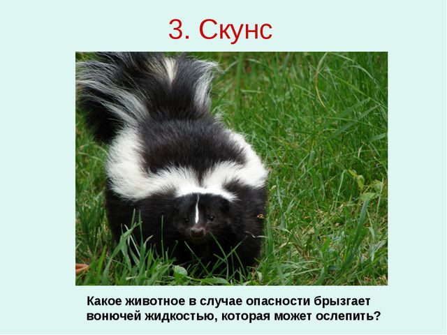 3. Скунс Какое животное в случае опасности брызгает вонючей жидкостью, котора...