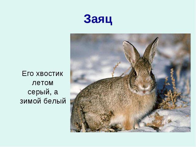 Заяц Его хвостик летом серый, а зимой белый