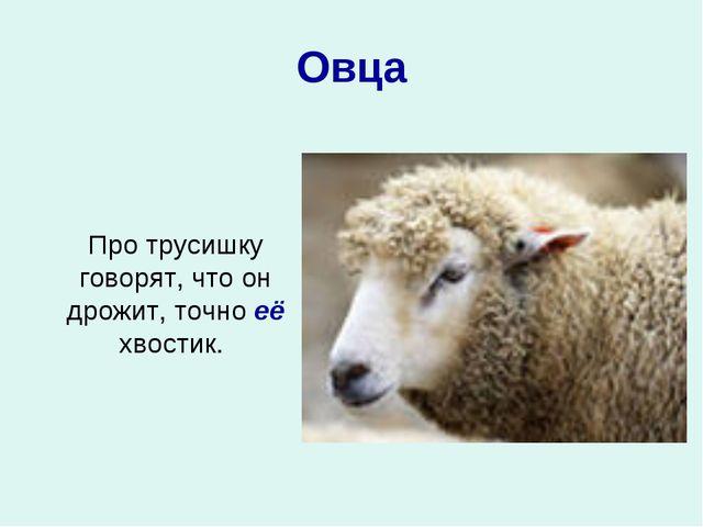 Овца Про трусишку говорят, что он дрожит, точно её хвостик.