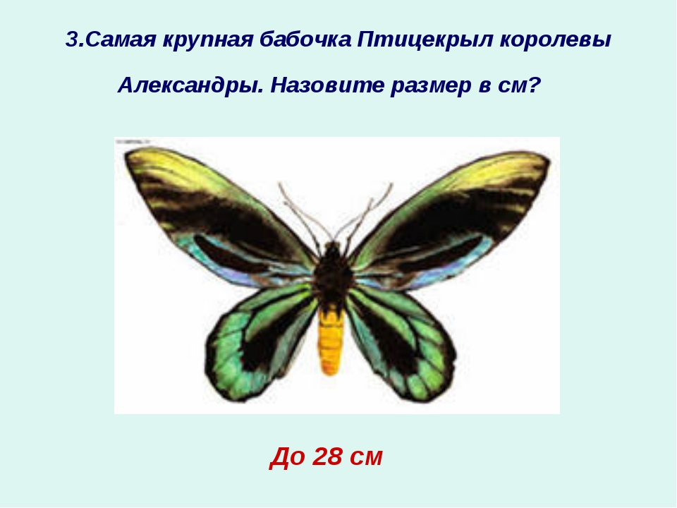 3.Самая крупная бабочка Птицекрыл королевы Александры. Назовите размер в см?...
