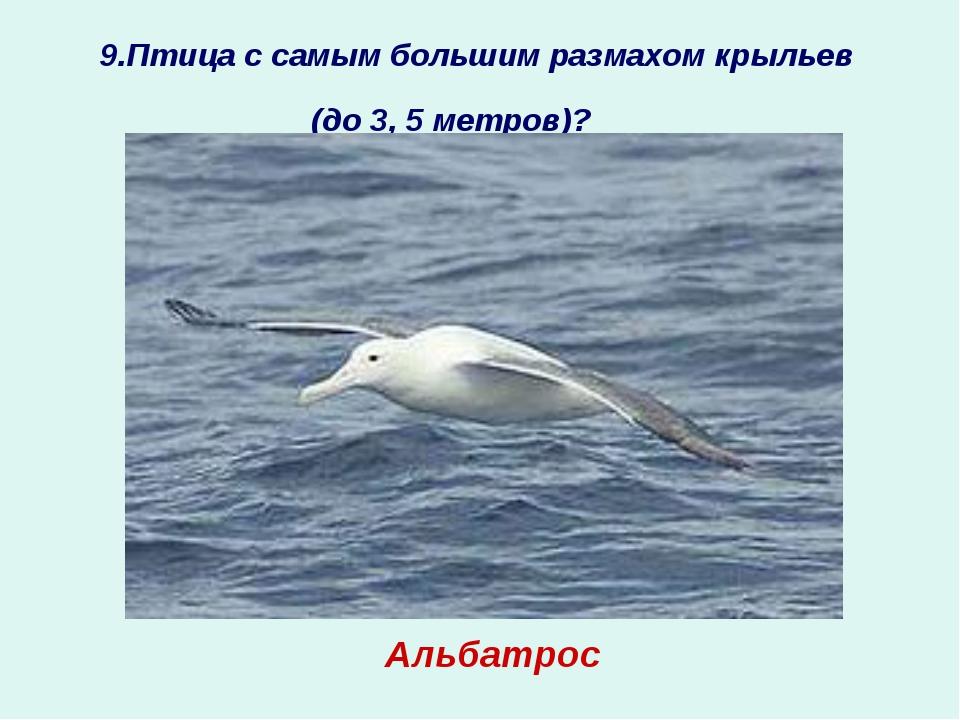 9.Птица с самым большим размахом крыльев (до 3, 5 метров)?  ? Альбатрос