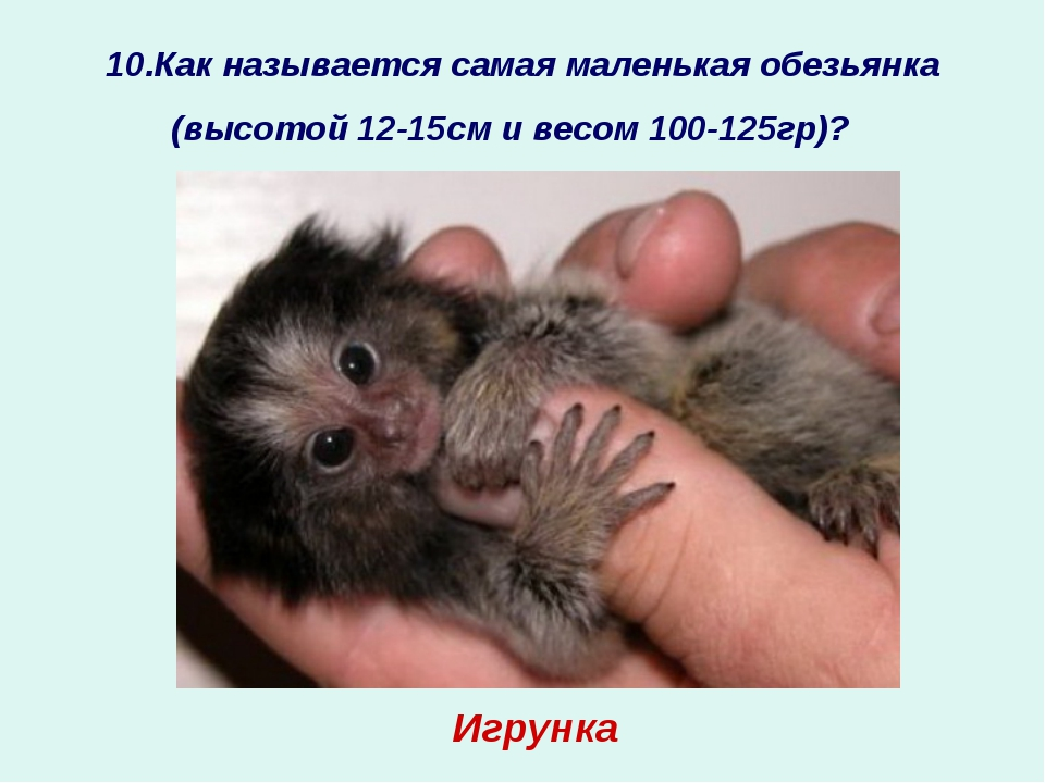 10.Как называется самая маленькая обезьянка (высотой 12-15см и весом 100-125г...