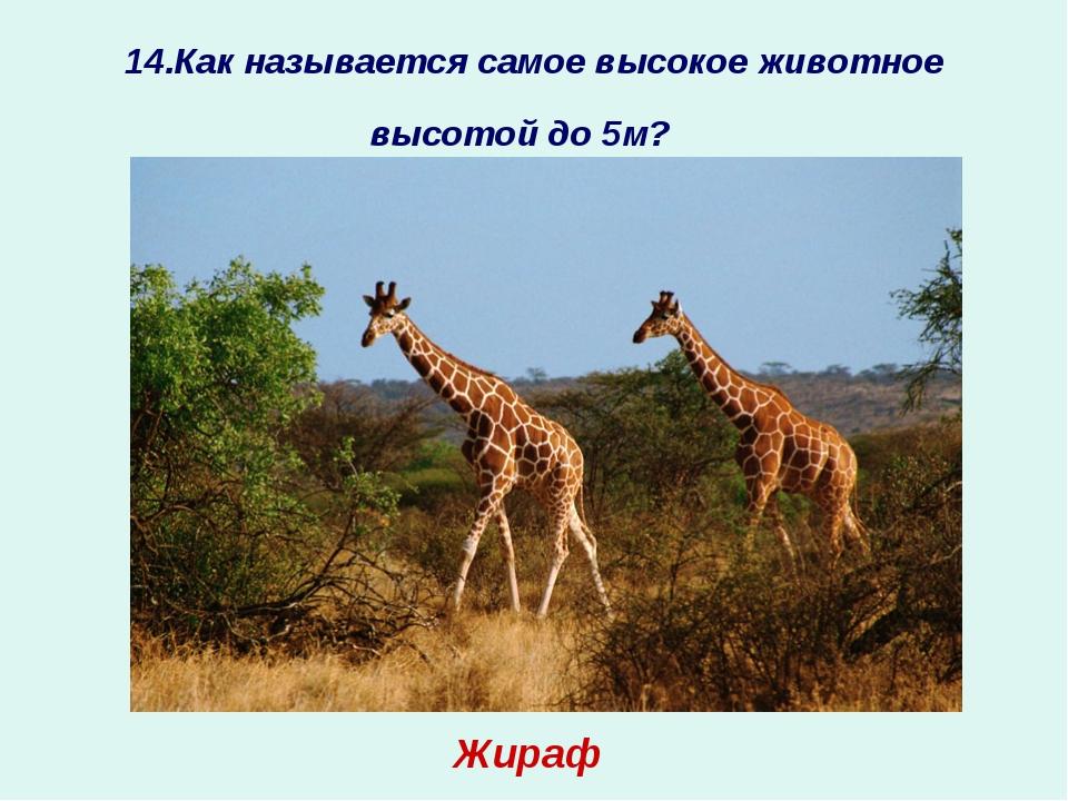 14.Как называется самое высокое животное высотой до 5м? ? Жираф