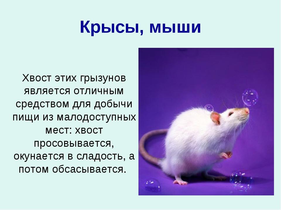 Крысы, мыши Хвост этих грызунов является отличным средством для добычи пищи и...