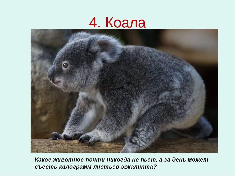 4. Коала Какое животное почти никогда не пьет, а за день может съесть килогра...