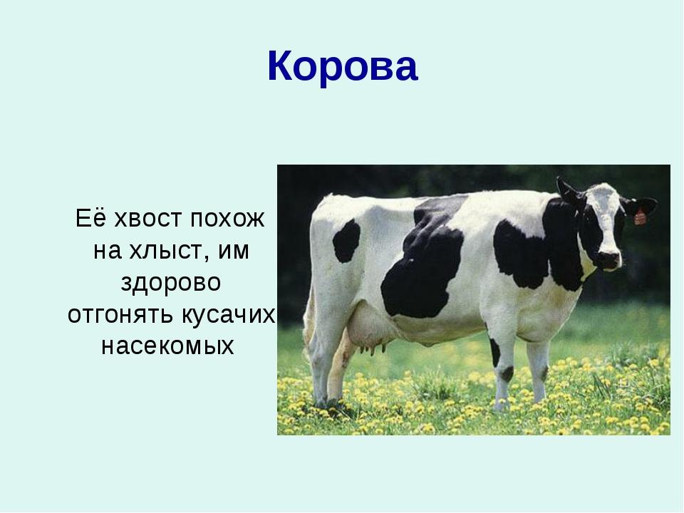 Корова Её хвост похож на хлыст, им здорово отгонять кусачих насекомых
