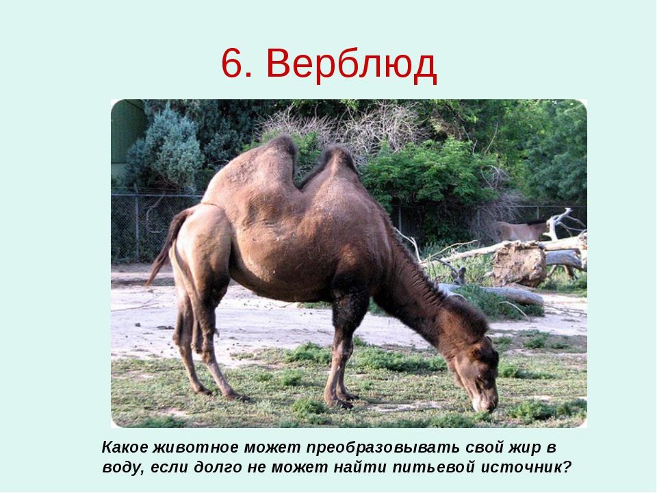 6. Верблюд Какое животное может преобразовывать свой жир в воду, если долго н...