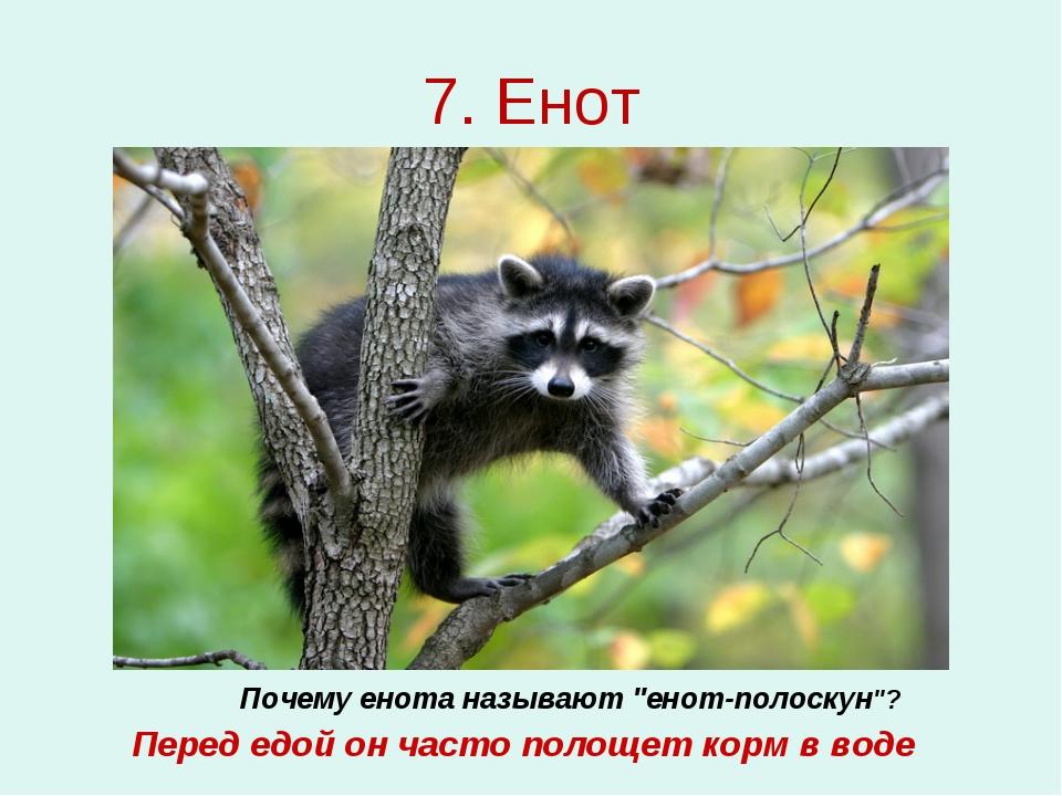 """7. Енот Почему енота называют """"енот-полоскун""""? Перед едой он часто полощет ко..."""