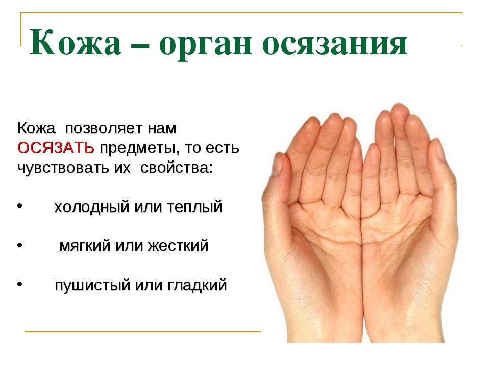 Кожа – орган осязания Кожа позволяет нам ОСЯЗАТЬ предметы, то есть чувствоват...