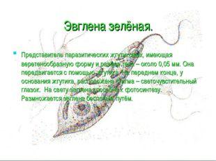 Эвглена зелёная. Представитель паразитических жгутиковых, имеющая веретенообр