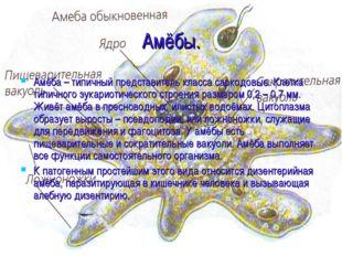 Амёбы. Амёба – типичный представитель класса саркодовые. Клетка типичного эук