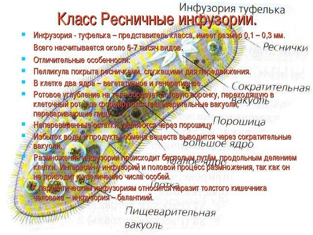 Класс Ресничные инфузории. Инфузория - туфелька – представитель класса, имее...