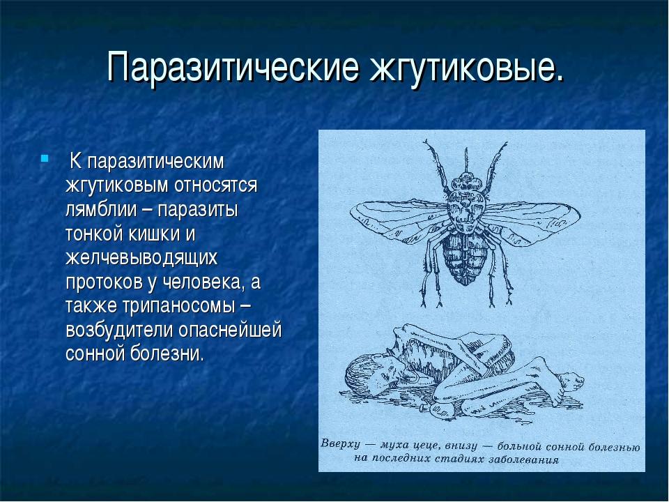 Паразитические жгутиковые. К паразитическим жгутиковым относятся лямблии – па...
