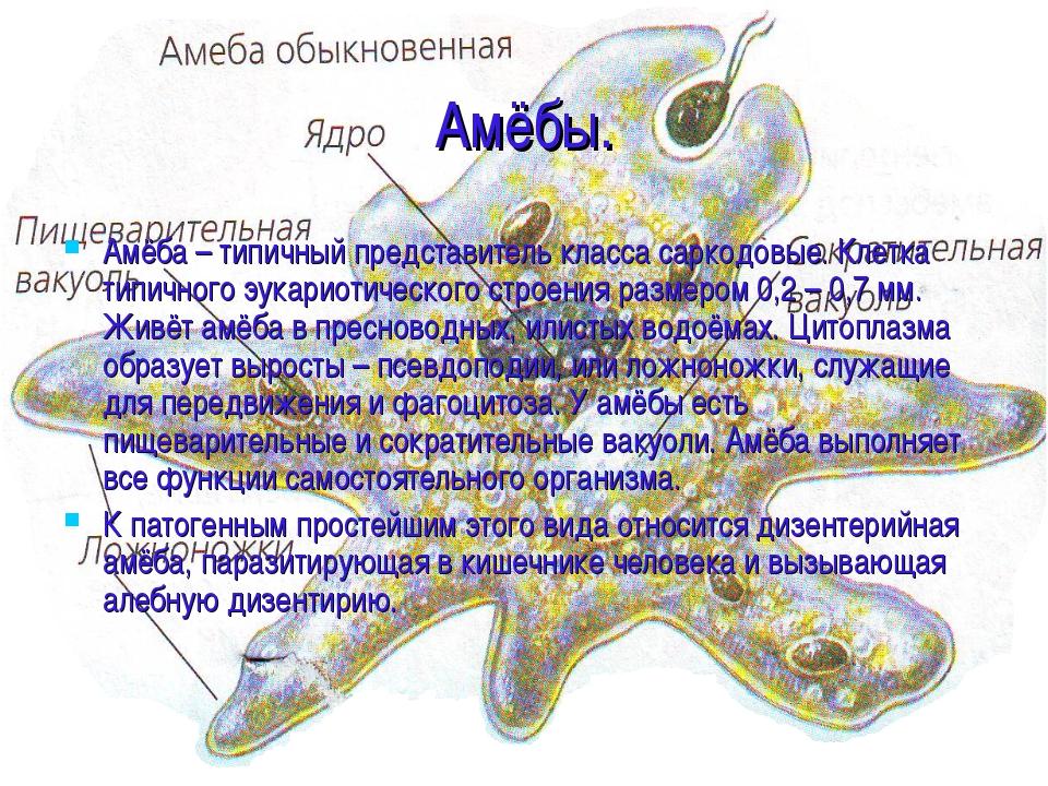 Амёбы. Амёба – типичный представитель класса саркодовые. Клетка типичного эук...