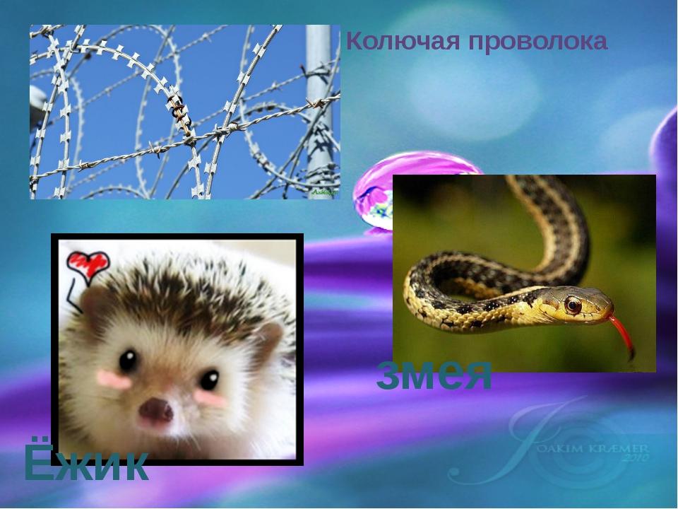 Ёжик змея Колючая проволока