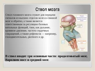 Ствол мозга Ствол головного мозга служит для передачи сигналов из высших отде