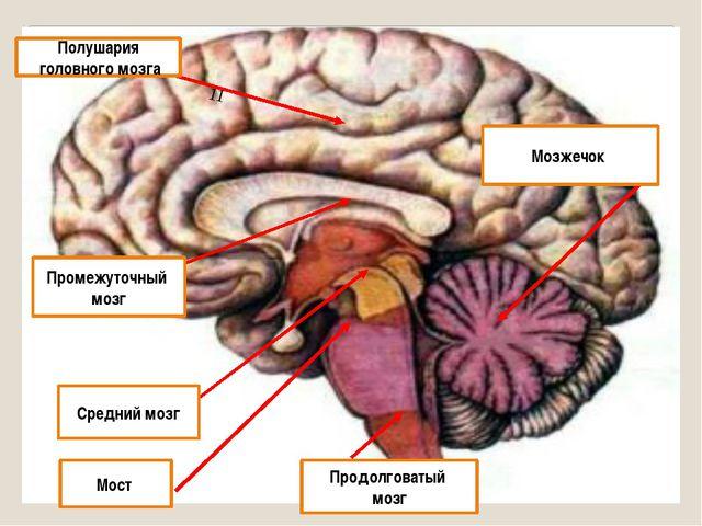 11 Полушария головного мозга Промежуточный мозг Средний мозг Мост Продолговат...