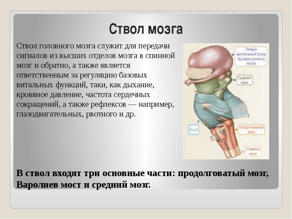 Ствол мозга Ствол головного мозга служит для передачи сигналов из высших отде...