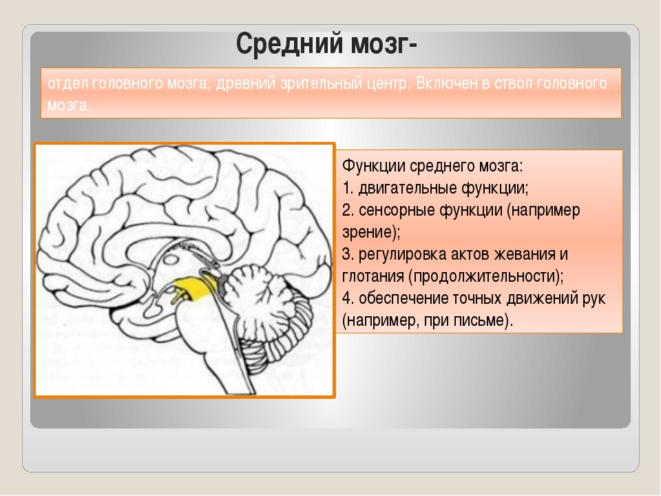 Средний мозг- Функции среднего мозга: 1. двигательные функции; 2. сенсорные ф...