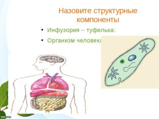 Назовите структурные компоненты Инфузория – туфелька: Организм человека: