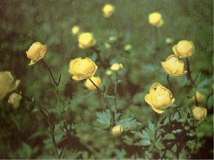 Италмас. «Ранней весной, Будто желтый алмаз, Гордый и смелый Расцвел италмас