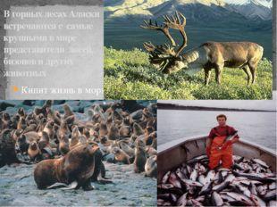 В горных лесах Аляски встречаются с самые крупными в мире представители лосей