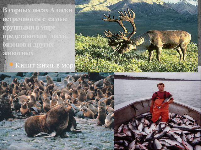 В горных лесах Аляски встречаются с самые крупными в мире представители лосей...