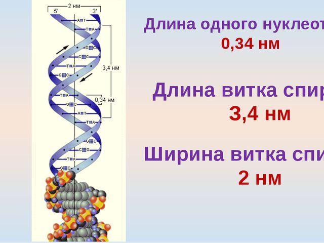 Длина одного нуклеотида 0,34 нм Длина витка спирали З,4 нм Ширина витка спира...