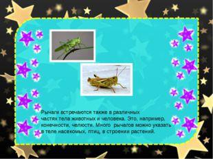 Рычаги встречаются также в различных частях тела животных и человека. Это, на