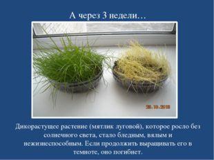 А через 3 недели… Дикорастущее растение (мятлик луговой), которое росло без с