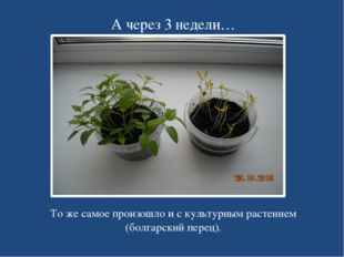 А через 3 недели… То же самое произошло и с культурным растением (болгарский