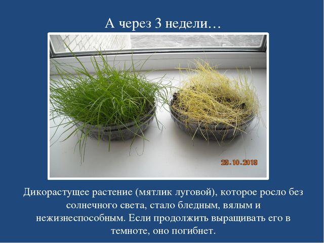 А через 3 недели… Дикорастущее растение (мятлик луговой), которое росло без с...