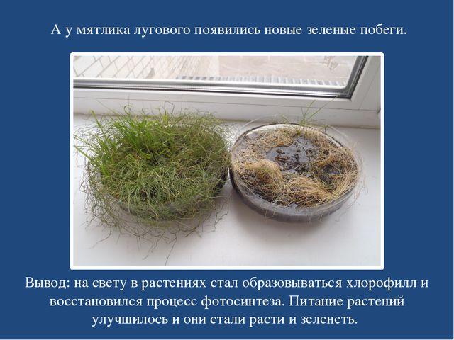 А у мятлика лугового появились новые зеленые побеги. Вывод: на свету в растен...