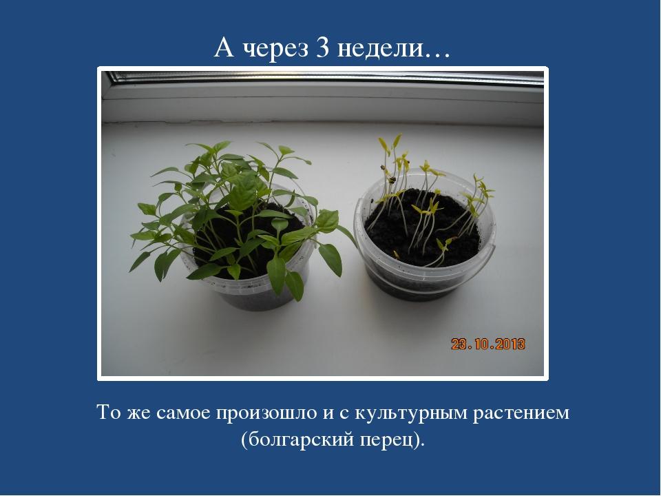 А через 3 недели… То же самое произошло и с культурным растением (болгарский...