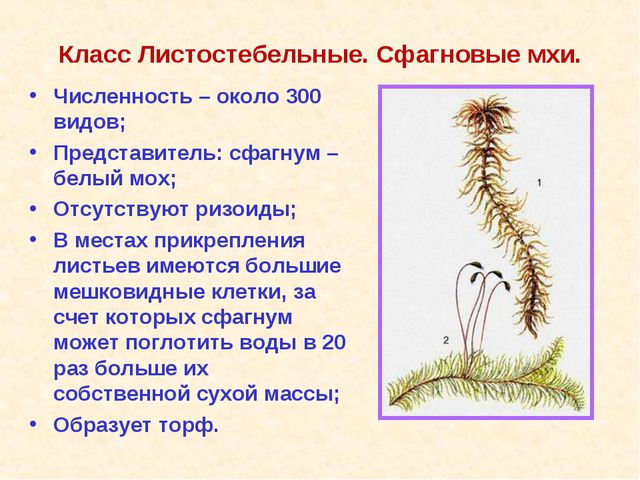 Класс Листостебельные. Сфагновые мхи. Численность – около 300 видов; Представ...