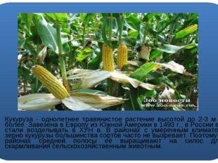 Кукуруза - однолетнее травянистое растение высотой до 2-3 м и более. Завезен