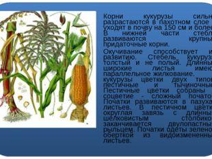 Корни кукурузы сильно разрастаются в пахотном слое и уходят в почву на 150 с