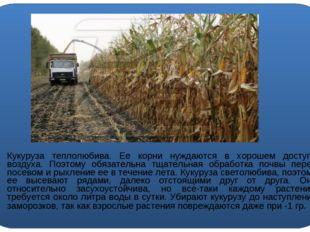 Кукуруза теплолюбива. Ее корни нуждаются в хорошем доступе воздуха. Поэтому