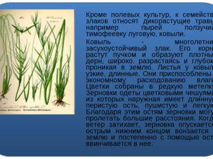 Кроме полевых культур, к семейству злаков относят дикорастущие травы, наприм
