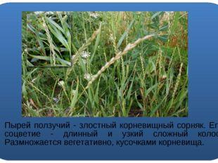 Пырей ползучий - злостный корневищный сорняк. Его соцветие - длинный и узкий